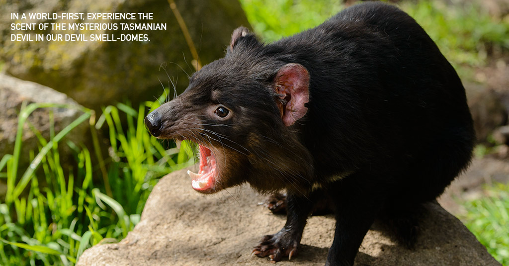 Tasmanian Devil Smell – The Sensory