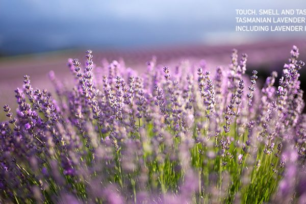 tasmanian lavender scented domes sensory experience